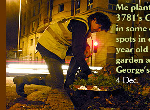 Me planting Paul 3781's Campanula in some empty spots in our four year old guerrilla garden at St George's Circus 4 Dec.