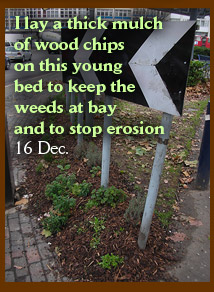 I lay a thick mulch of wood chips on this young bed to keep the weeds at bay and to stop erosion 16 Dec.