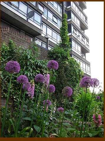 Allium tower beneath my tower block