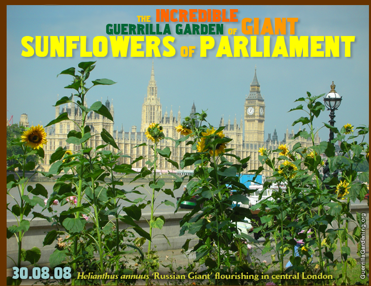 The Incredible Guerrilla Garden of Giant Sunflowers of Parliament