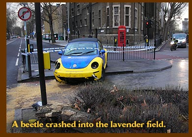 A beetle crashed into the lavender field