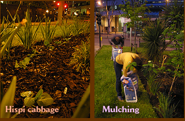 Hispi cabbage & Mulching