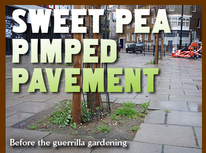 Sweet pea pimped pavement. Before the guerrilla gardening