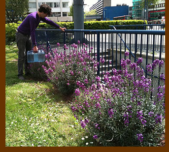 Wallflowers and aubretia on the North Roundabout