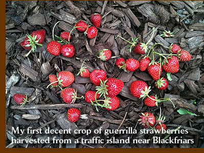 My first decent crop of guerrilla strawberries harvested from a traffic island near Blackfriars