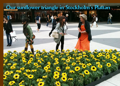 Our sunflower triangle in Stockholm's Plattan