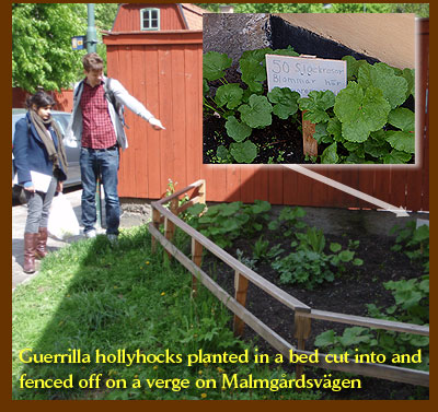 Guerrilla hollyhocks planted in a bed cut into and fenced off on a verge on Malmgardsvagen