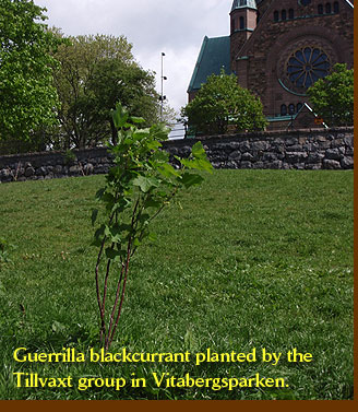 Guerrilla blackcurrant planted by the Tillvaxt group in Vitabergsparken
