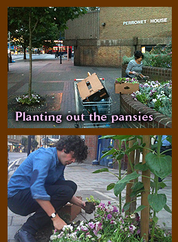 Planting out pansies