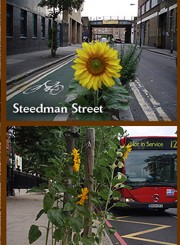 Steedman Street guerrilla sunflowers