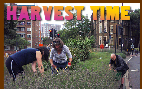 Harvest Time for the guerrilla gardening lavender