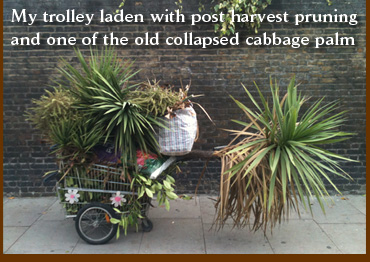 My trolley laden with post harvest pruning and one of the old collapsed cabbage palm