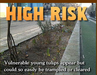 High Risk - Vulnerable young tulips appear but could so easily be trampled or cleared
