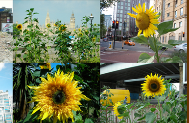 Guerrilla gardening sunflowers all over London