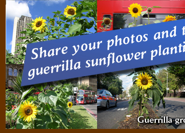 Share your photos and tales of guerrilla sunflower planting