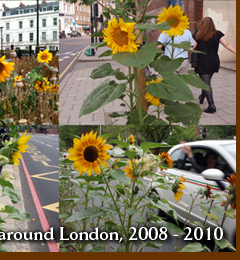 Guerrilla grown sunflowers around London 2008 - 2010
