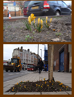 Guerrilla crocus outside Lambeth North tube