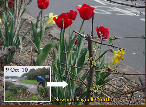 Tulips growing at Newport Pagnell Services