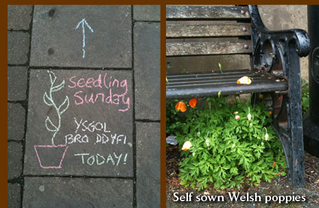 Chalk sign to Seedling Sunday and self sown Welsh poppies