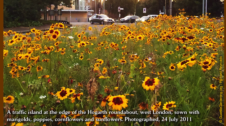 A traffic island at the edge of the Hogarth roundabout, west London, sown with marigolds, poppies, cornflowers and sunflowers. Photographed, 24 July 2011