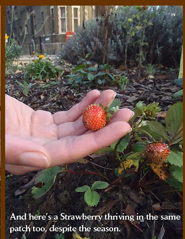 And here's a Strawberry thriving in the same patch too, despite the season.