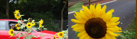 guerrilla sunflower of Denmark Hill London