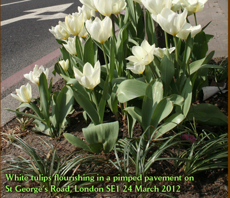 White tulips flourishing in a pimped pavement on  St George's Road, London SE1 24 March 2012