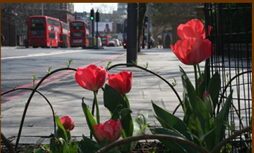 London Road guerrilla tulips