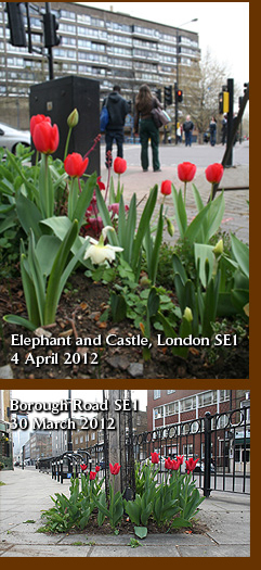 Borough Road guerrilla tulips 2012