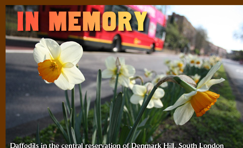 In Memory. Daffodils in the central reservation of Denmark Hill, South London