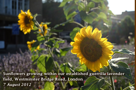 Sunflowers growing within our established guerrilla lavender  field, Westminster Bridge Road, London  7 August 2012