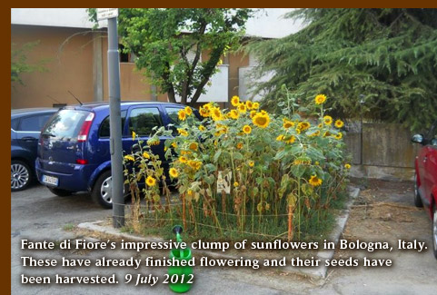 Fanta di Fiore's impressive clump of sunflowers in Bologna, Italy. These have already finished flowering and their seeds have been harvested. 9 July 2012
