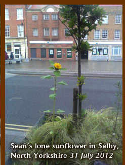 Sean's lone sunflower in Selby, North Yorkshire 31 July 2012