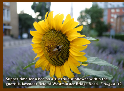 Supper time for a bee on a guerrilla sunflower within the  guerrilla lavender field of Westminster Bridge Road, 7 August '12
