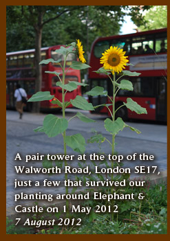 A pair tower at the top of the  Walworth Road, London SE17, just a few that survived our planting around Elephant & Castle on 1 May 2012 7 August 2012