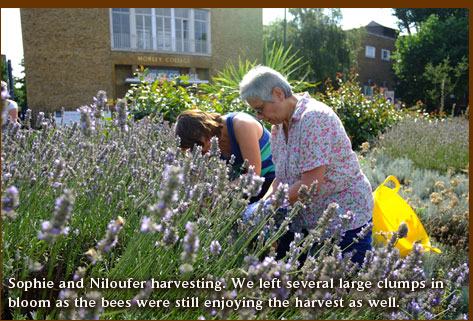 Sophie and Niloufer harvesting. We left several large clumps in bloom as the bees were still enjoying the harvest as well.
