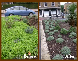 Weeds before and happy lavender bushes afterwards outside Morley College in Lambeth