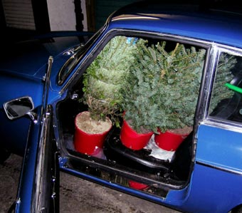Young Christmas trees in an MG